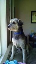 Lost Dog: Auggie