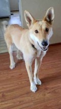 <b>Adopt Me:</b> Ginger is great on a leash