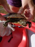 Campers rescue turtle with imbedded fish hook <b>(5 photos)</b>