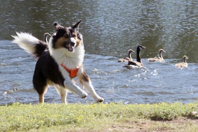 Canada Goose Dog
