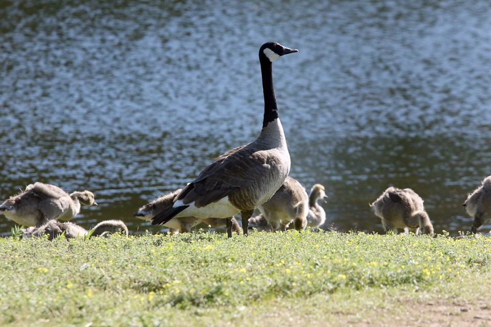 A Flock Of Canada Geese Patrol The Shoreline At Marina Park On Monday July 16