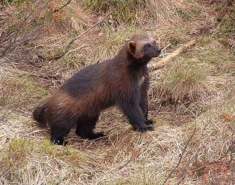 A study in the Red Lake area is looking to uncover more information about the population of wolverines in the Northwest. (File).