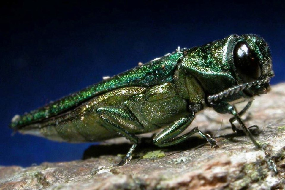 The emerald ash borer attacks only ash trees. (emeraldashborer.info)