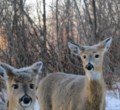 Deer around Thunder Bay