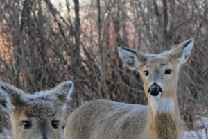 Deer around Thunder Bay