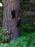 Pecking away