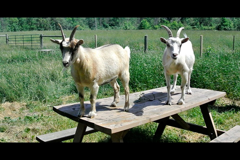 Goats welcome visitors to Ass Menagerie. Bob Liddycoat / Thorold News
