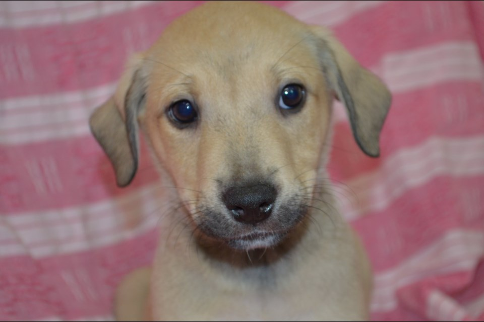 Azur is one of two eight-week-old puppies stolen from the Timmins and District Humane Society last night. Supplied photo