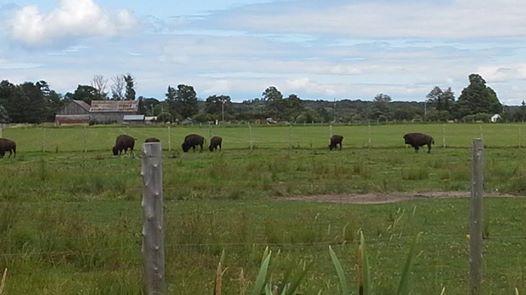 Bison grazing / djroot